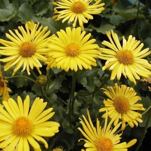 Little Leo S Nursery Fit For A King: Pack X6 Doronicum 'Little Leo' Perennial Garden Plug