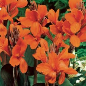 Bulb//Tuber//Root Canna Lily /'The President/' Quality WPC Prins Summer Flowering
