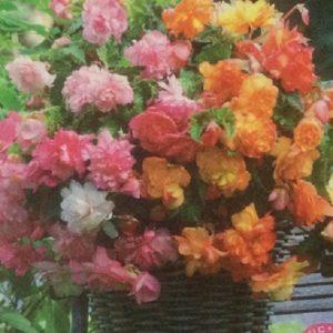Pack x1 Canna Lily Bulb /'Mrs Oaklahoma/' WPC Prins Bulbs//Tubers