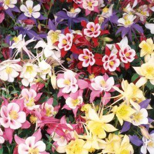 Pack x6 Aquilegia /'McKana Giants Mixed/' Perennial Garden Plug Plants