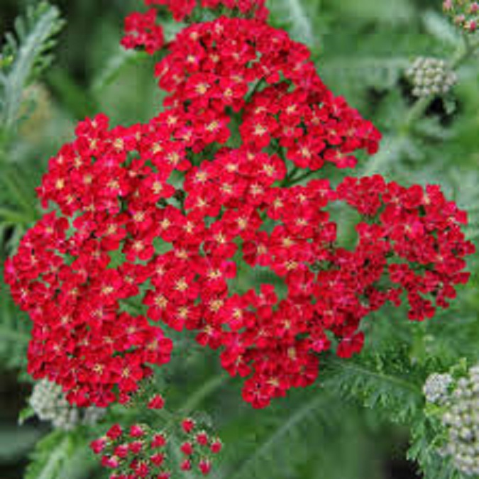 Achillea Millefolium /'Red Velvet/' Perennial Supersize XXL Plug Plants Pack x3