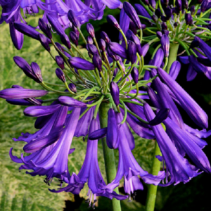 Agapanthus Silver Baby Perennial Flowering XXL Supersize Plug Plants Pack x3