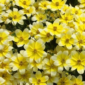 Brachyscombe Delight Dark Mauve Garden Basket Plug Plants Pack x6