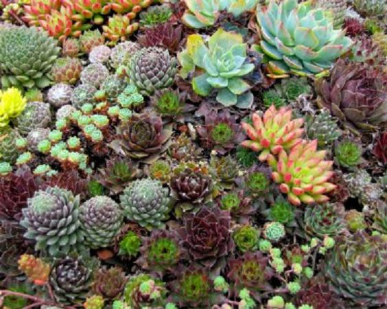 Pack x6 Sempervivum Mixed Species 'House Leek' Perennial Plug Plants